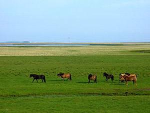 Horses in Hornafjörður