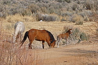 By Rick Cooper (originally posted to Flickr as The Wild Horse Herd) [CC-BY-2.0 (http://creativecommons.org/licenses/by/2.0)], via Wikimedia Commons