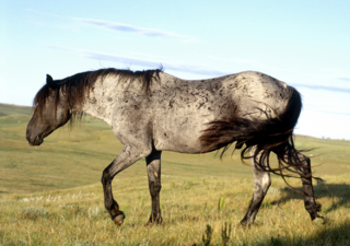 Hengst Blue Moon / blue roan Nokota stallion
