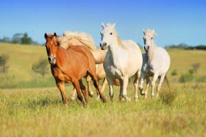 rennende paarden