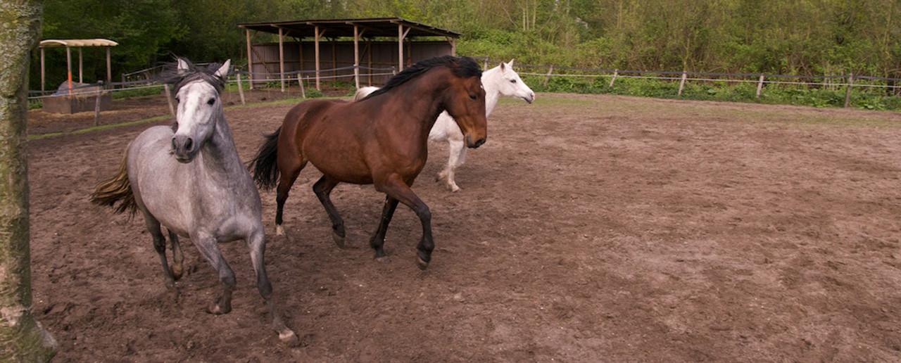 Hoe zet ik een nieuw paard bij de groep