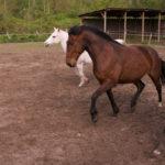 nieuw paard in kudde